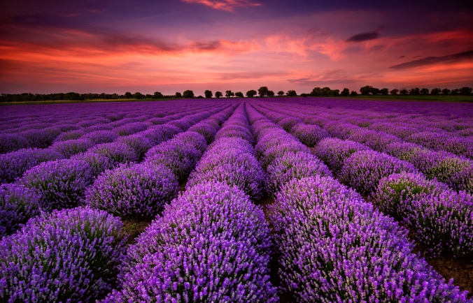 LavenderFieldSunset